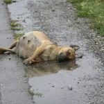 1379615 3676062355587 782874391 n 150x150 FOTO LISTA CRIMEI(incompleta). Romania primitiva, psihopata, bolnava, profund degenerata, inecata in sange!! Masacrul cainilor   septembrie 2013   2014. R.I.P poor souls!