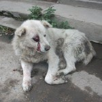 1379870 10151736794039091 542689190 n 150x150 FOTO LISTA CRIMEI(incompleta). Romania primitiva, psihopata, bolnava, profund degenerata, inecata in sange!! Masacrul cainilor   septembrie 2013   2014. R.I.P poor souls!