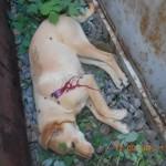 1383674 658528477511329 1979289537 n 150x150 FOTO LISTA CRIMEI(incompleta). Romania primitiva, psihopata, bolnava, profund degenerata, inecata in sange!! Masacrul cainilor   septembrie 2013   2014. R.I.P poor souls!