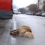caini otraviti deva 150x150 FOTO LISTA CRIMEI(incompleta). Romania primitiva, psihopata, bolnava, profund degenerata, inecata in sange!! Masacrul cainilor   septembrie 2013   2014. R.I.P poor souls!