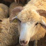 2017_sheep_jordan_5